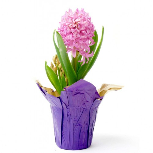 Potted Hyacinth Bulbs