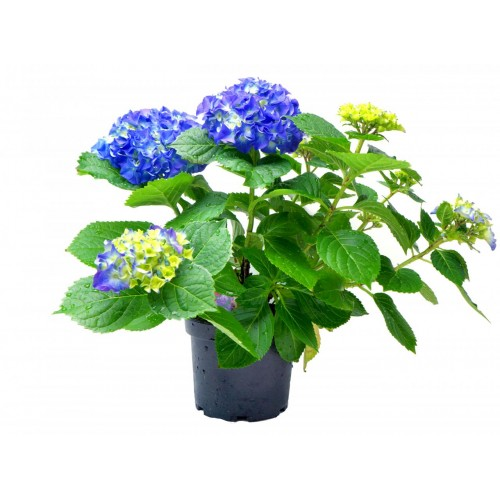 Potted Hydrangea